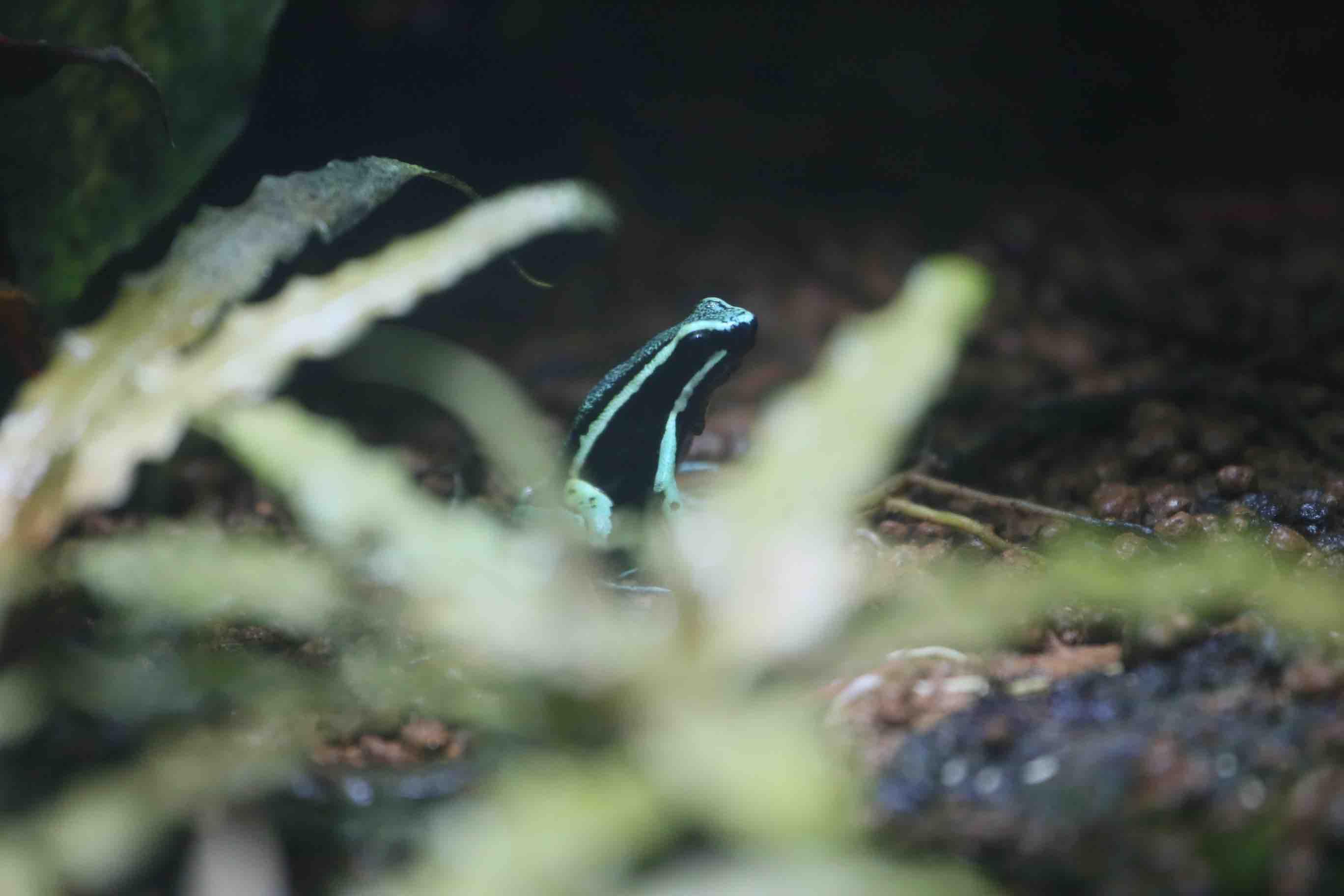 ヤドクガエル -ワンダーゾーン 多様な生態-