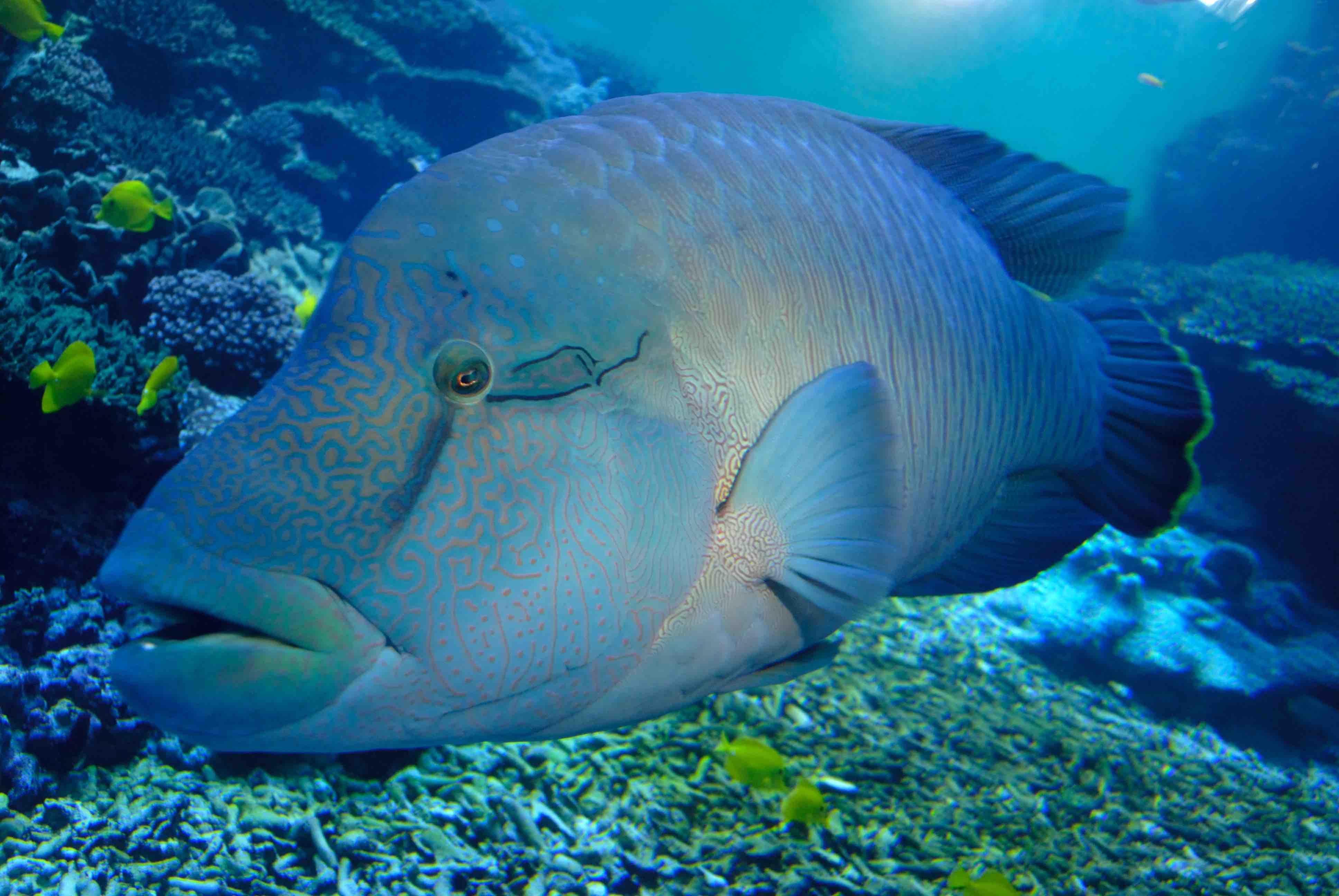 メガネモチノウオ -熱帯ゾーン サンゴ大水槽-