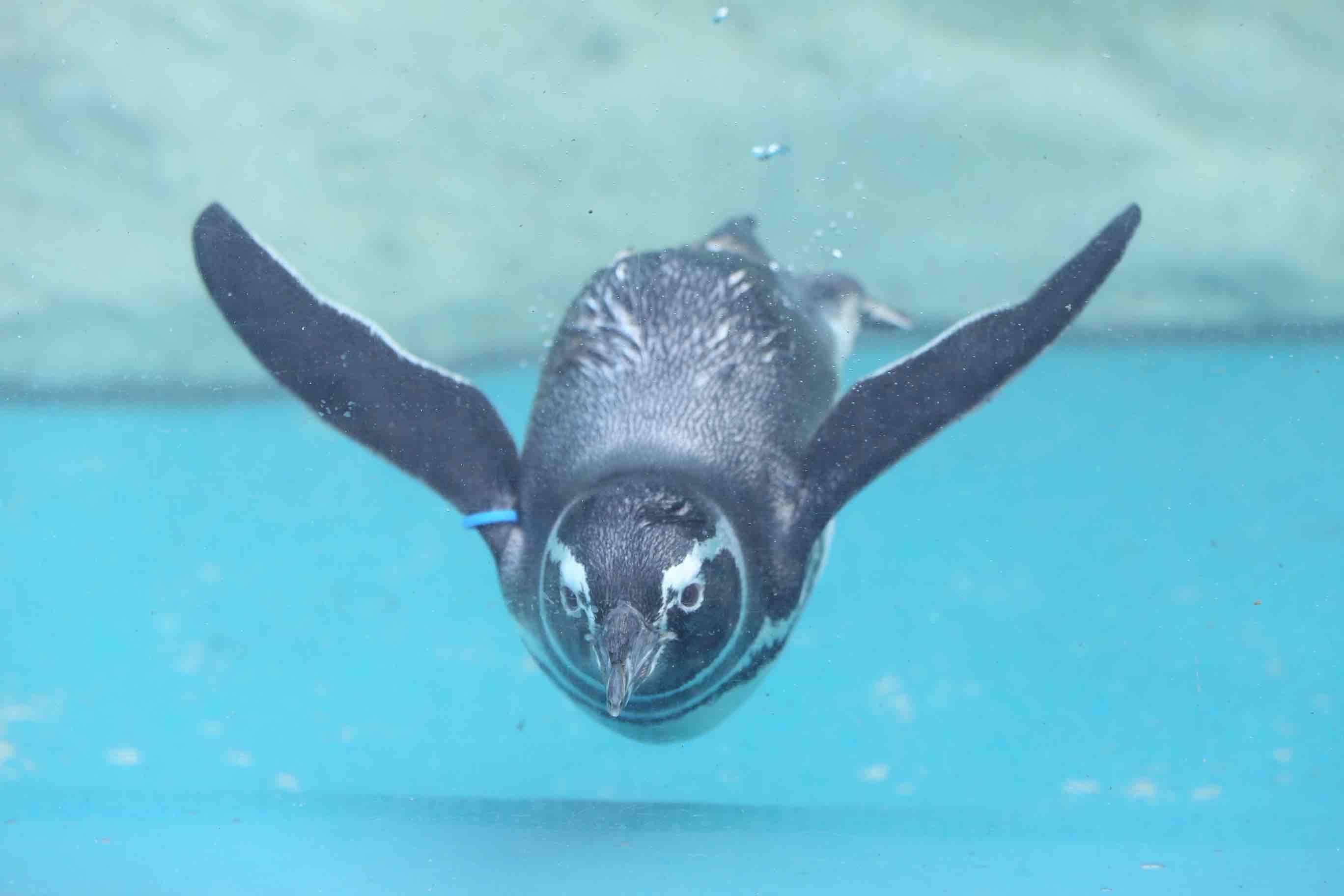 マゼランペンギン -あそびーち-