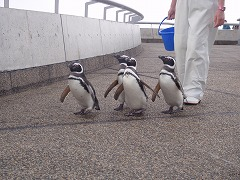 f1_img_1378974001_penguin_walk