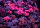 f1_img_1384151063_coral