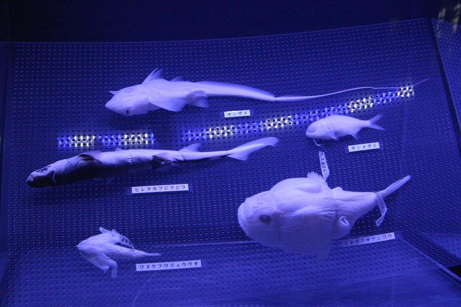 深海生物標本