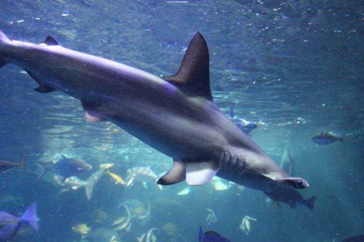 サメ給餌6