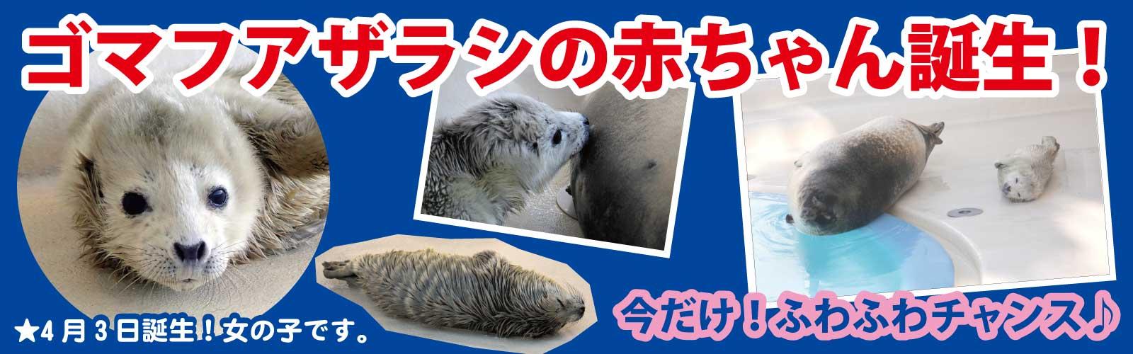 ゴマフアザラシの赤ちゃん誕生!