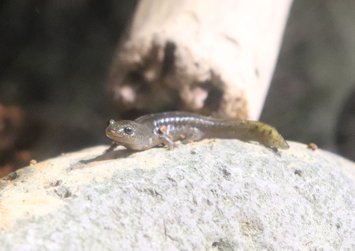 oitasalamander2
