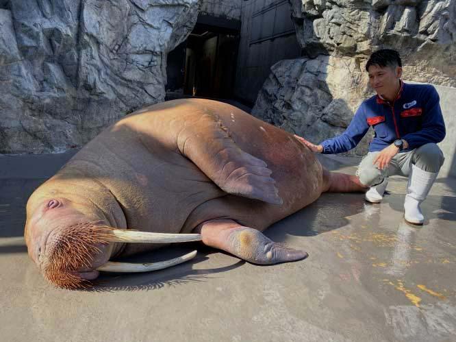 Walrus_pregnancy_3